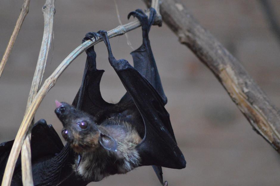 W Suwałkach sprawdzą w jakim stanie są nietoperze