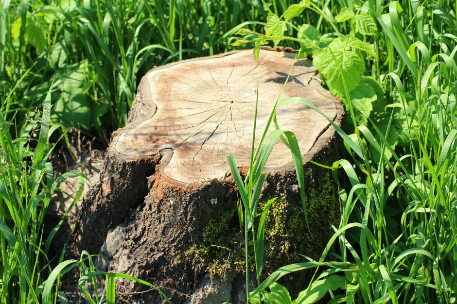 Gmina Namysłów została ukarana za wycinkę drzew