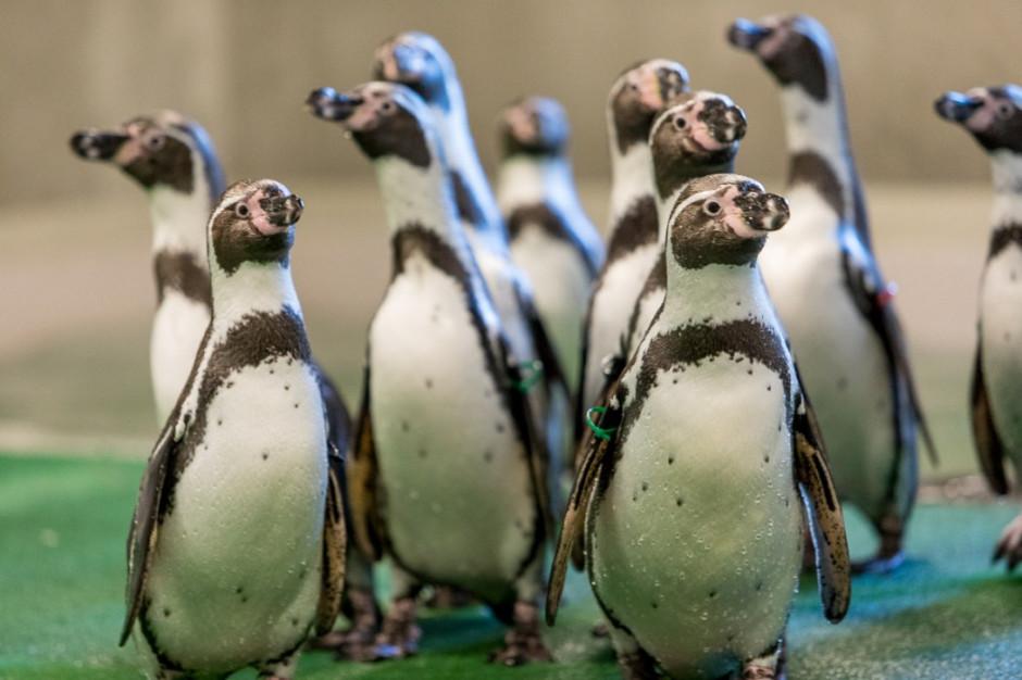 Do śląskiego zoo wróciły pingwiny