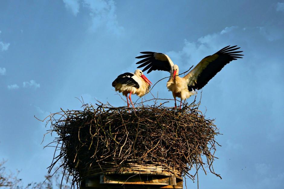 Energetycy porządkują gniazda przed przylotem bocianów