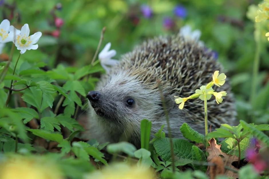 Poznań będzie pomagać jeżom, wiewiórkom i innym małym ssakom