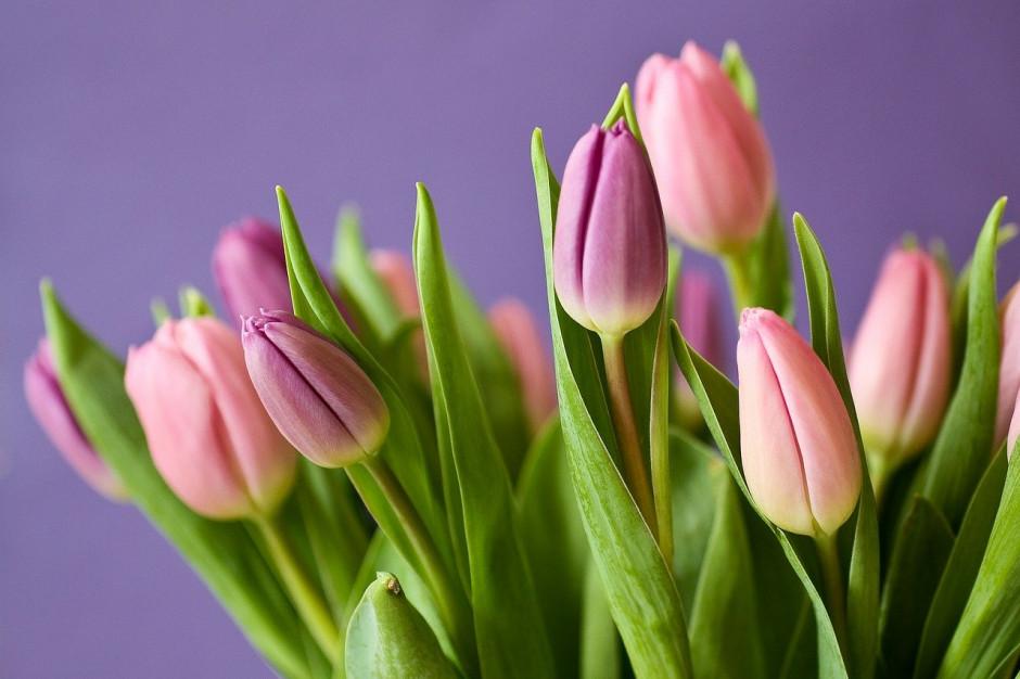 Poznań: 1,5 tys. tulipanów wręczą kobietom pracownicy MPK