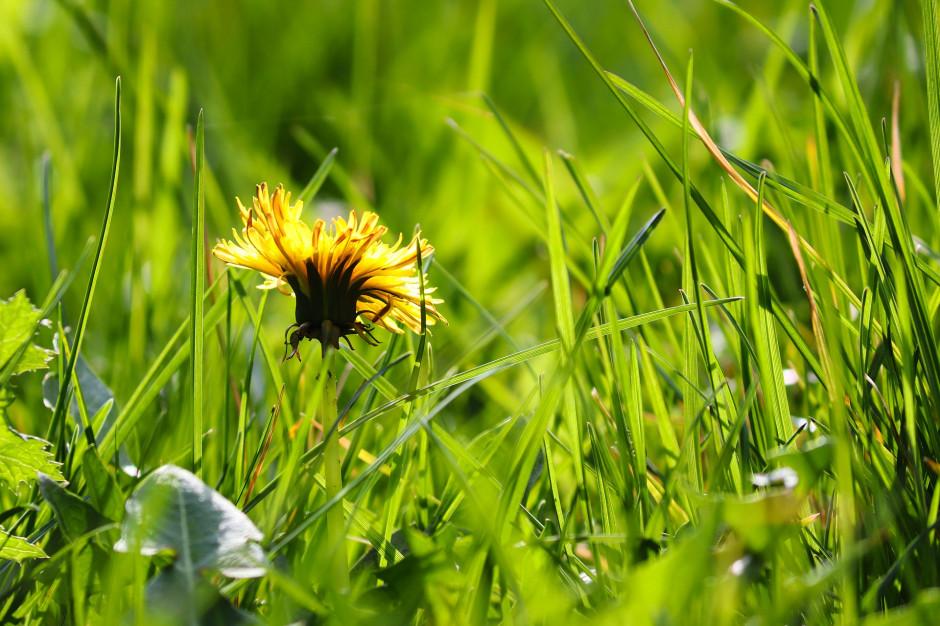 Rośnie obawa o skutki suszy. Kolejne samorządy nie będą kosić trawy