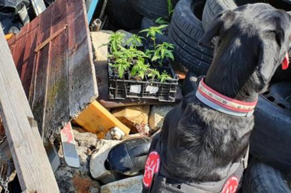Opolskie: Pies skarbówki wywąchał narkotyki ukryte w sejfie