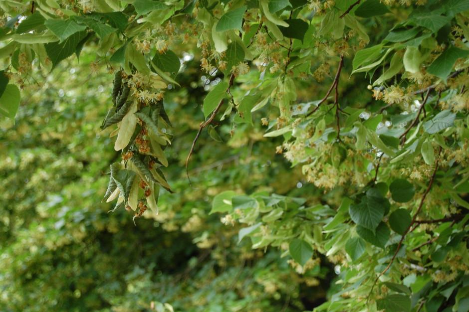 W Kaliszu i okolicach przybędzie drzew miododajnych