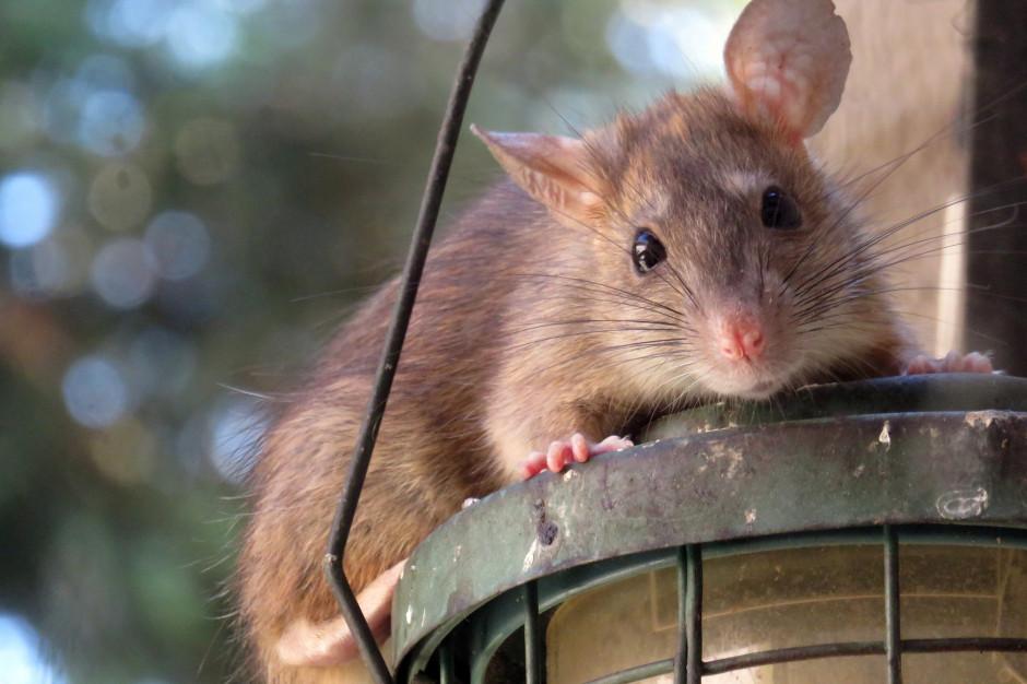 Warszawa: Praga-Północ wypowiada wojnę szczurom. Będzie deratyzacja