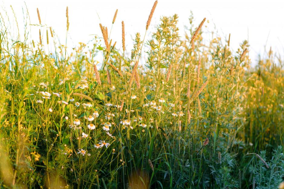 Łódź zyska nowe łąki kwietne