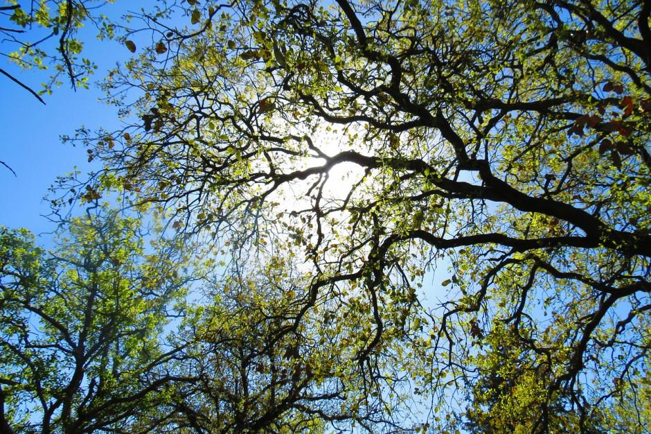 Drzewa za frekwencję. Znamy zwycięzcę wyborczego wyzwania we Wrocławiu
