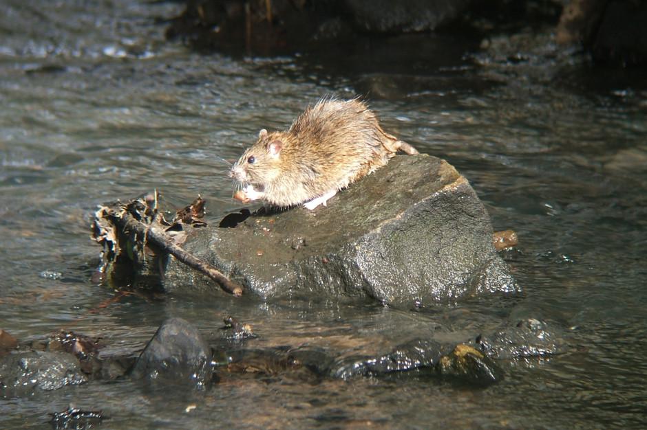 Lublin mówi stop szczurom