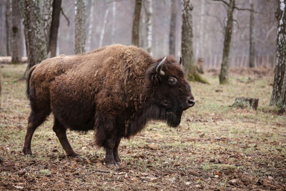 Białowieża: Żubr zaatakował turystę