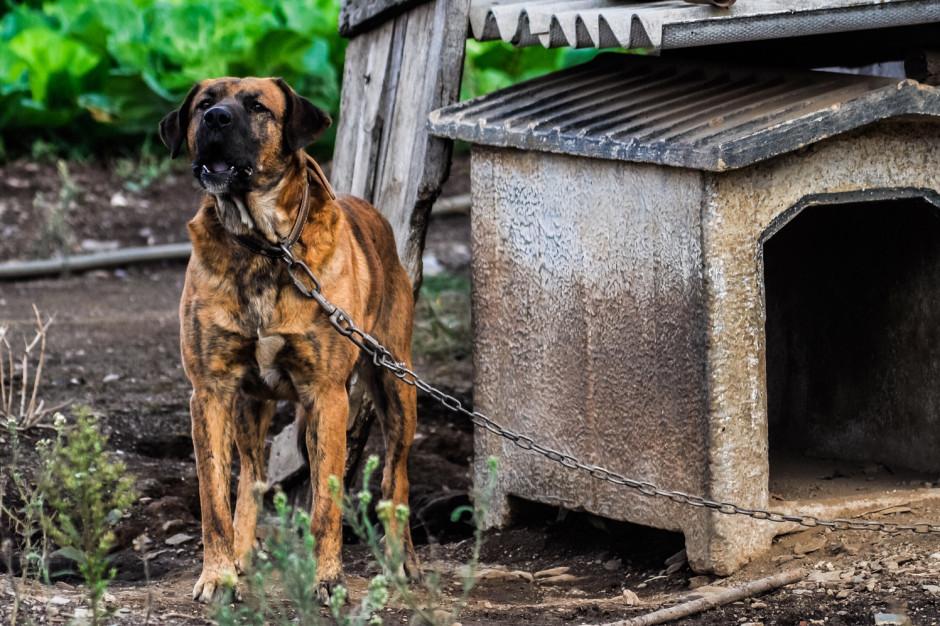 Oto szczegóły projektu PiS. Koniec z psami na łańcuchach i hodowlą zwierząt na futra