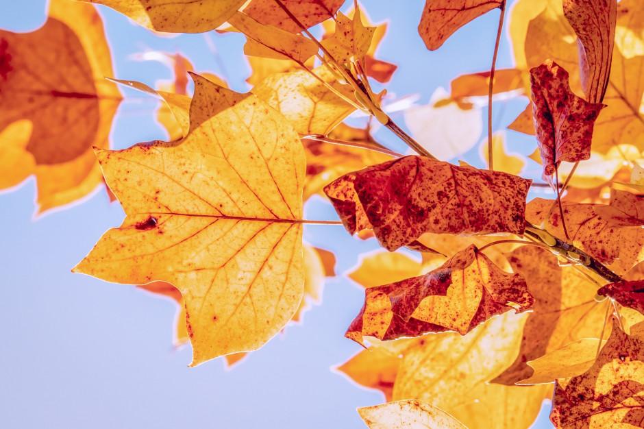 Poznań: Rozpoczyna się akcja odbierania liści