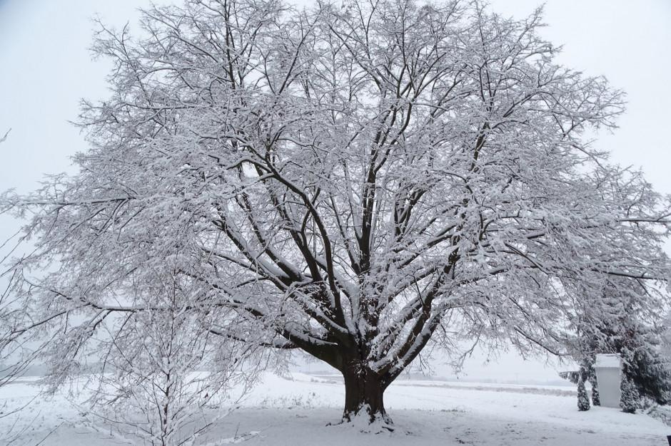 Ruszył konkurs Europejskie Drzewo Roku. Lipa z Polski czeka na głosy