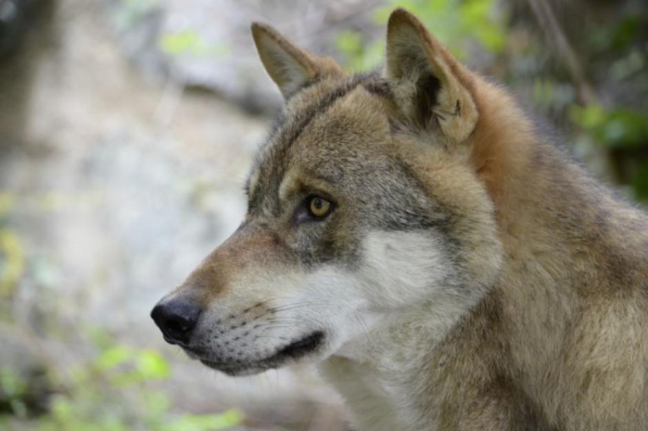 Narastają problemy z dzikimi zwięrzętami. Coraz więcej interwencji