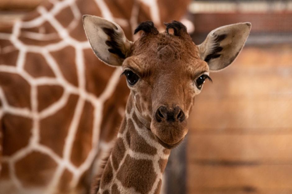 We wrocławskim zoo na świat przyszła żyrafa siatkowana
