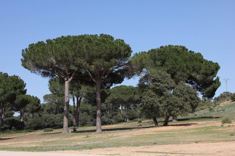 Pół miliona euro na ratowanie drzew w Rzymie