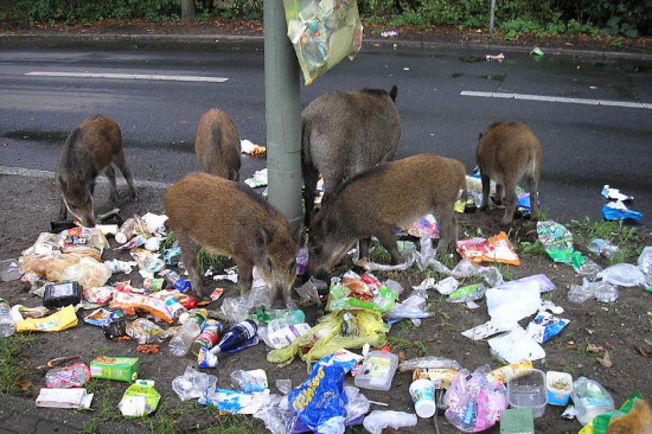 Dziki przeniosły się do miast. Nie zamierzają wracać do lasu