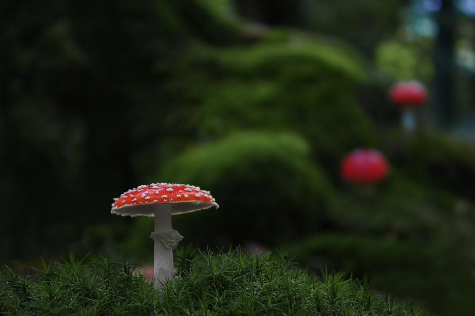 Podlaskie: Specjaliści apelują, by w lesie nie zbierać nieznanych nam grzybów