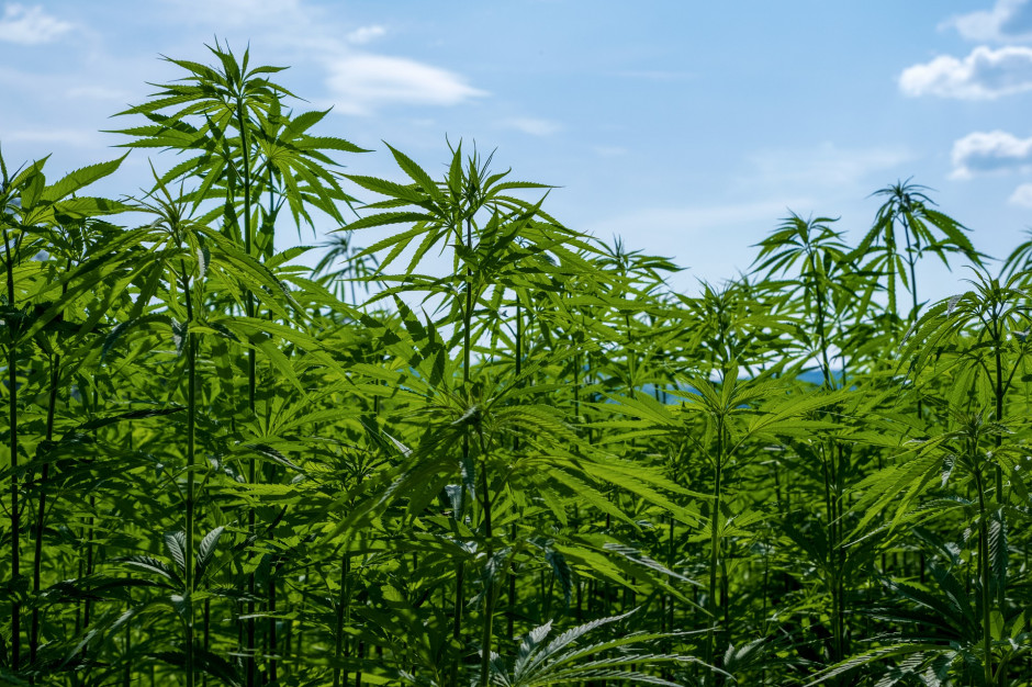 Ustawa o przeciwdziałaniu narkomanii do poprawki. Chodzi o konopie