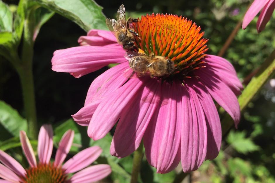 Ochrona pszczół potrzebna nie tylko od święta. Miasta o tym wiedzą