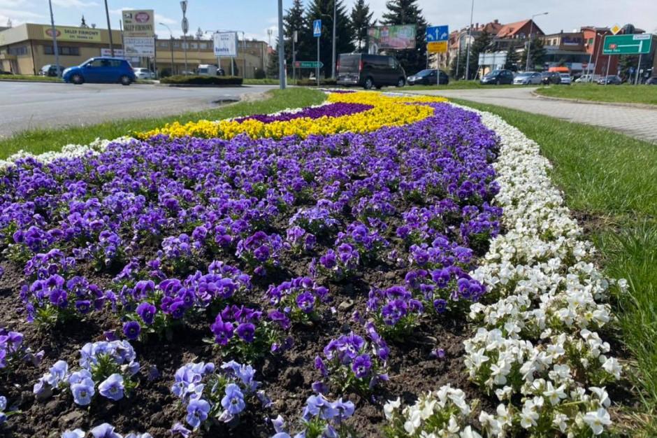 Burmistrz zachęca do zrywania kwiatów z miejskich klombów na procesję