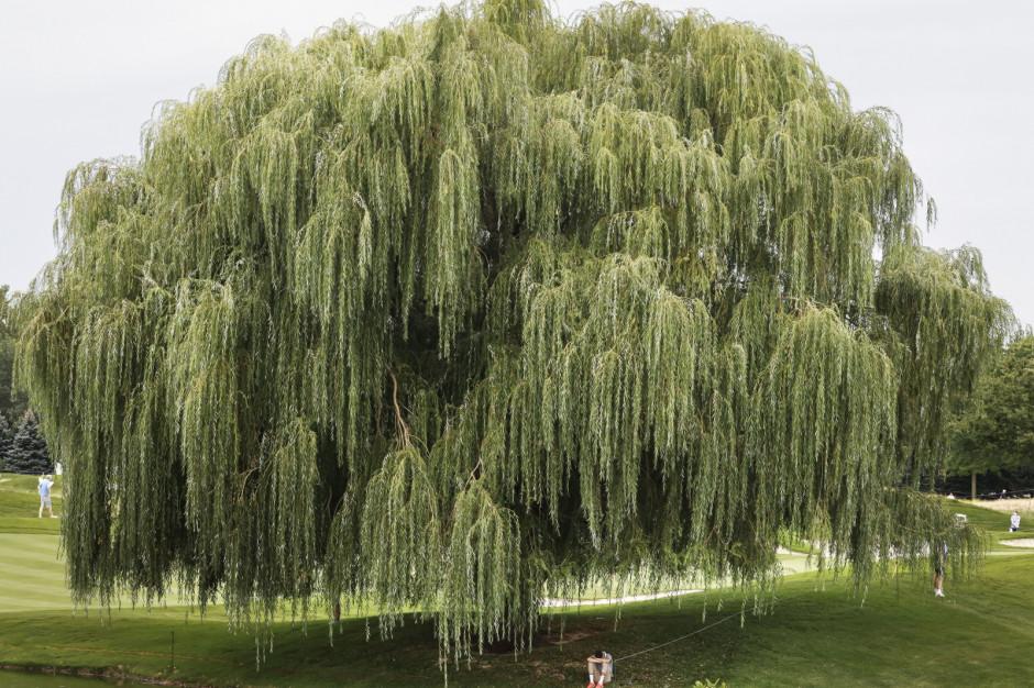Ekonomista pokazał wyniki swoich badań. Dzięki drzewom miasta zyskują miliony złotych
