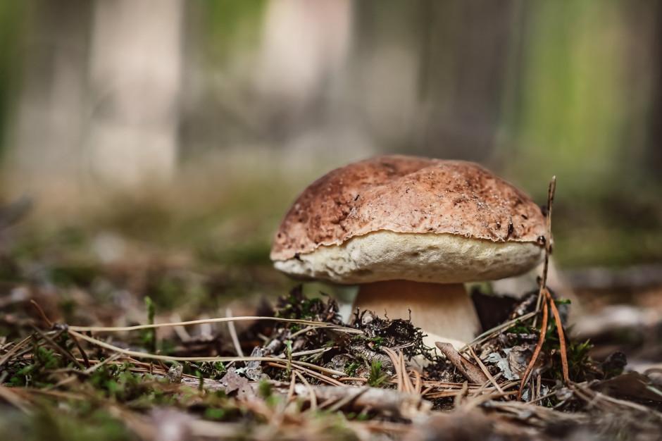 W polskich lasach mamy 1,4 tys. gatunków grzybów jadalnych. Trzeba być bardzo ostrożnym